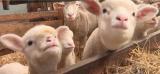 ???BB Crise sanitaire : les stocks des producteurs français de laine s'accumulent